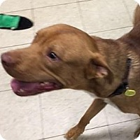 Terrier (Unknown Type, Medium)/American Pit Bull Terrier Mix Dog for adoption in Fulton, Missouri - Murray- Ohio