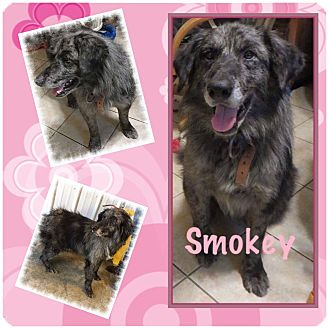 Australian Shepherd Dog for adoption in Fort Wayne, Indiana - Smokey