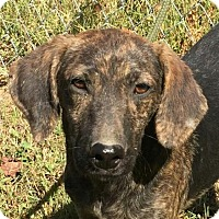 Mountain Cur Mix Puppy for adoption in Allentown, Pennsylvania - Theo