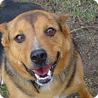Shepherd (Unknown Type) Mix Dog for adoption in Delaware, Ohio - Sarge