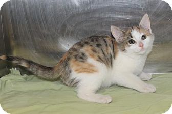 Calico Kitten for adoption in Morehead, Kentucky - #094 Jezzebelle YOUNG FEMALE - EUTH ALERT!