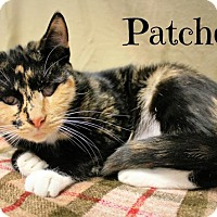 Abyssinian Cat for adoption in Taylor Mill, Kentucky - Patches-DECLAWED, blind, SWEET