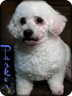 Miniature Poodle Dog for adoption in Phoenix, Arizona - PARKER
