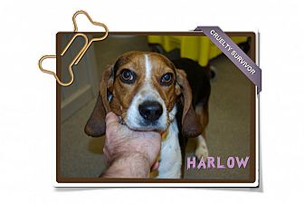 Beagle Dog for adoption in Portland, Oregon - Harlow