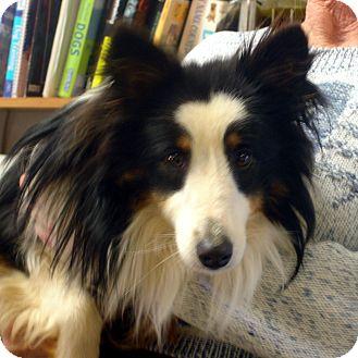 Sheltie, Shetland Sheepdog Dog for adoption in baltimore, Maryland - Maverick