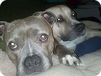 Staffordshire Bull Terrier Mix Dog for adoption in Santa Monica, California - Linda and Grettir