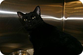 Domestic Shorthair Cat for adoption in Roanoke, Virginia - Jetta