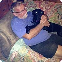 Adopt A Pet :: Lily lab mix - Millbrook, NY
