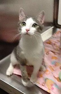 Domestic Shorthair Cat for adoption in Houston, Texas - Mila