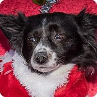 Adopt A Pet :: Daisy - San Marcos, CA