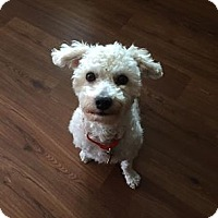 Adopt A Pet :: Murphee - Troy, MI