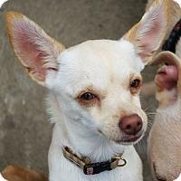 Adopt A Pet :: Penny - San Jose, CA
