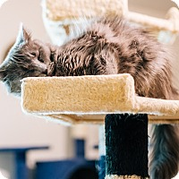 Domestic Mediumhair Cat for adoption in Cedar Springs, Michigan - Catniss