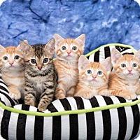 Domestic Shorthair Kitten for adoption in Franklin, Tennessee - KITTENS!