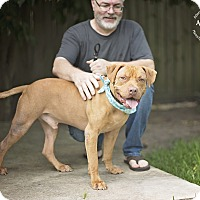 Dogue de Bordeaux Mix Dog for adoption in Seattle, Washington - LEO - Sweet big baby!