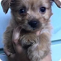 Adopt A Pet :: Nala - Manhattan Beach, CA