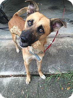 German Shepherd Dog/Black Mouth Cur Mix Dog for adoption in San Antonio, Texas - D'Artangnan