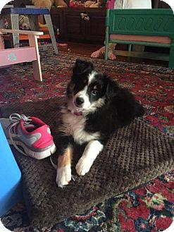 Australian Shepherd/Sheltie, Shetland Sheepdog Mix Puppy for adoption in Hazard, Kentucky - Luna