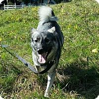 Norwegian Elkhound Mix Dog for adoption in Slanesville, West Virginia - Maxine
