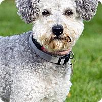 Poodle (Standard) Dog for adoption in Logan, Utah - Hudson
