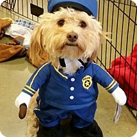 Cockapoo/Havanese Mix Dog for adoption in Long Beach, California - Mad Max