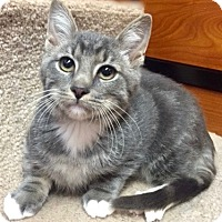 Domestic Shorthair Kitten for adoption in Long Beach, New York - Bingo