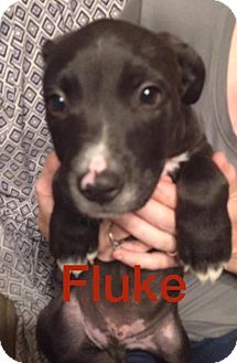 Boxer/Shepherd (Unknown Type) Mix Puppy for adoption in Normal, Illinois - Fluke
