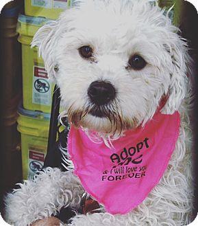 Poodle (Miniature)/Labradoodle Mix Dog for adoption in Redondo Beach, California - Stella!