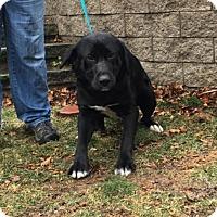 Adopt A Pet :: Dublin Dan in RI!!! - Windham, NH