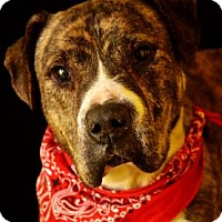 Adopt A Pet :: Boscoe - Fort Smith, AR