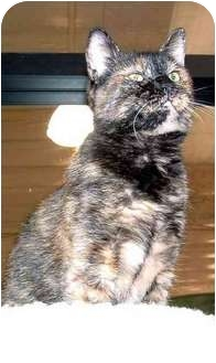 Domestic Shorthair Cat for adoption in San Diego/North County, California - November