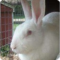 Adopt A Pet :: Rescued Rabbits!!! - Long Valley, NJ