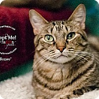 Domestic Shorthair Cat for adoption in Lakewood, Colorado - Romeo (& Juliet Bonded Pair)