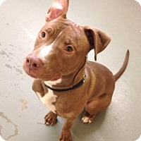 Adopt A Pet :: Shotta - Medford, MA