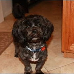 Photo 3 - Lhasa Apso/Poodle (Miniature) Mix Dog for adoption in Lake Forest, California - Dusty