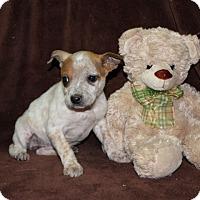 Adopt A Pet :: Sequoia - Salem, NH
