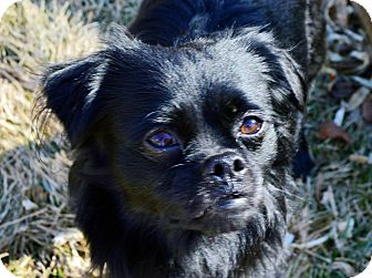 Japanese Chin/Chihuahua Mix Dog for adoption in Aurora, Colorado - Bear