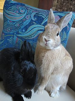 Dwarf Mix for adoption in Los Angeles, California - Peanut Butter