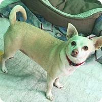 Adopt A Pet :: Chai - Fallbrook, CA