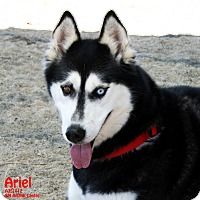 Adopt A Pet :: Ariel - Santa Maria, CA