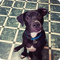 Adopt A Pet :: Spanky - Hagerstown, MD