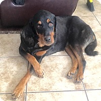 Rottweiler Mix Dog for adoption in Scottsdale, Arizona - Courtesy Post-Harvey