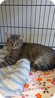Domestic Shorthair Cat for adoption in Acushnet, Massachusetts - Shelly