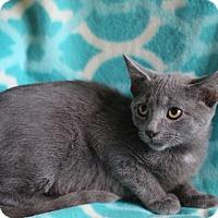 Russian Blue Kitten for adoption in Staunton, Virginia - Natasha