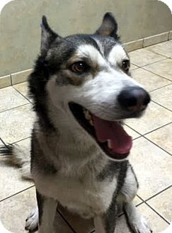 Husky Mix Dog for adoption in North Las Vegas, Nevada - Vinnie