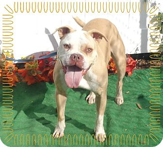English Bulldog Mix Dog for adoption in Marietta, Georgia - WALDO