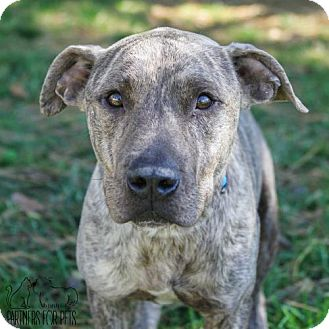 Pit Bull Terrier Dog for adoption in Troy, Illinois - Patrick