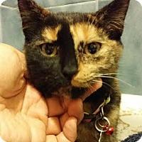 Domestic Shorthair Kitten for adoption in Toronto, Ontario - Minnie