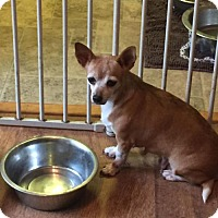 Chihuahua Dog for adoption in Parker Ford, Pennsylvania - Jingles