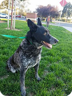 Australian Cattle Dog Mix Dog for adoption in Gustine, California - MARCO